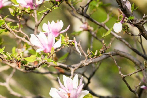 Flowering trees, UW Arboretum