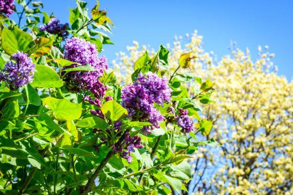 Lilacs at the UW Arboretum